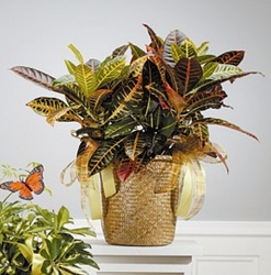 Croton Plant with Yellow Accents