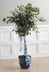 Ficus with Braided Ribbon