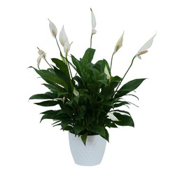Peace Lily Plant in White Container