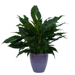 Peace Lily Plant in Dark Container